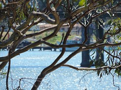 Gum tree (Images by Jeff - from the sea) Tags: blue burnettriver bundaberg gumtree water trawler boat bridge grass green nikon p520 7dwf dof
