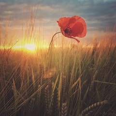 Sunset Poppy (M a r i k o) Tags: iphone iphone6s iphoneography iphonephotography mobile mobilephotography square poppy flower mohn mohnblume summer field feld gerstenfeld barley grass grain sunset sun sunlight light erding bayern bavaria hipstamatic snapseed mextures