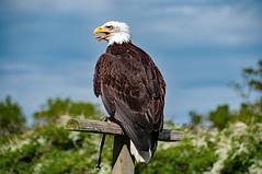 """Liberty"", Alaskan Bald Eagle, Liberty's Owl, Raptor and Reptile Centre, Hampshire, UK (rmk2112rmk) Tags: alaskanbaldeagle baldeagle bald eagle libertysowlraptorandreptilecentre raptor bird birdofprey bokeh dof haliaeetus leucocephalus"