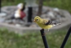 chardonneret f (Claude Hudon) Tags: bird yellow finch nature outdoors animal oiseaux songbird chardonneret spinus stristis american goldfinch