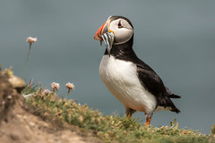 Puffin with Sand eels (Phil D 245) Tags: