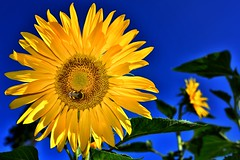 Happy weekend!Thanks for visit and favorite!😀 (Sa&Manu) Tags: nikond810 sunflower sigma35art sigmaart morning