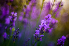 Purple (hploeckl) Tags: purple diaplan dof nature flower flowers fantasy