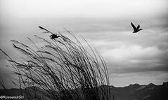 L'Albufera - 3 (rossendgricasas) Tags: sky landscape water bird nature bw clouds aircraft silhouette nikon monochrome photography photoshop lightroom horizontal valencia action albufera