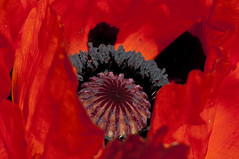 Poppy (cj howitt) Tags: home garden poppy closeup macro collinsbay ontario vividcolour