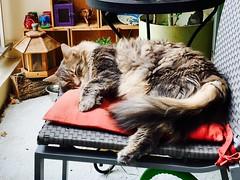 Lost. Notre chat prends le soleil de juin (freddylyon69) Tags: relax lyon lost monchat animals summertime soleil siesta home cat chat