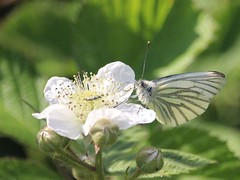 Oedemera nobilis and dinner date (Wildlife Terry) Tags: oedemera nobilis greenveined white brambles beetle pollinatinginsects blinddate surprise amateurphotography butterfly cheshirecountryside igitto