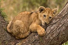 Lions of Maasai Kopjes 425 (Grete Howard) Tags: bestsafarioperator bestsafaricompany africa africansafari africanbush africananimals whichsafaricompany whichsafarioperator tanzania serengeti animals animalsofafrica animalphotos lions lioncubs maasaikopjes kopjes kopje