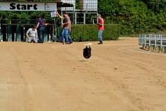 """,,Jeder Hund Rennen"""" am 15.06.2017 im Windhund-Stadion Gelsenkirchen Resse (Kurt Gritzan) Tags: gelsenkirchen nrw germany hund hunde dog haustier welpe nikon nikond7100 d7100 kurt65 kurtgritzan deutschland deu tier tiere hunderennen windhundstation nordrheinwestfalen jederhundrennen"""
