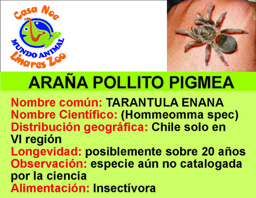 araña pollito pigmea