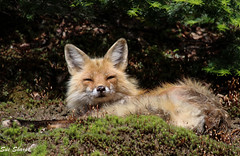 Fox (Old Patriarch) (Sue D Sharpe) Tags: fox male sleepy sunshine moss algonquinpark ontario