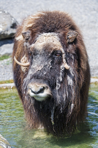 Muskox in the water