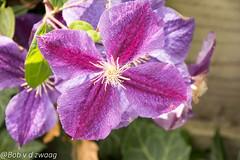 _DSC0048 (bob.vanderzwaag) Tags: passiflora