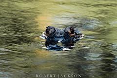 American Alligator (ogre1550) Tags: robertjackson nikond750 photography alligator alabama mobile
