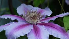 Clematis (PMillera4) Tags: clematis flower
