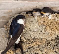 Hirondelles de fenêtre - Delichon   urbicum - Juveniles au nid (jymandu) Tags: hirondelles