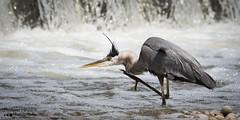 Great Blue Heron (Darlene348) Tags: greatblueheron nature wildlife wilkesdam brantford ontario canada darlenehewson