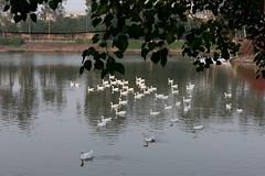 0F1A1313 (Liaqat Ali Vance) Tags: landscape green gulshan e iqbal nature liaqat ali vance photography lahore google punjab pakistan animal ducks lake garden