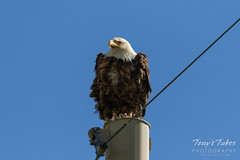 Bald Eagle keeping watch