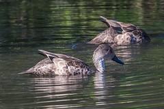 He's Not Listening To Me! (gecko47) Tags: bird birds ducks teal australiangreyteal anasgracilis pair pond brisbane camphill feeding swimming dabbling