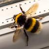 Window nemesis (Barry Folan) Tags: bee bees macro naturephotography nature macrophotography macroshots
