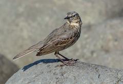 JWL1542  Rock Pipit.. (jefflack Wildlife&Nature) Tags: rockpipit pipit pipits birds avian animal wildlife wildbirds countryside coastalbirds seashore estuaries gorse nature