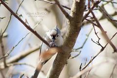 Tufted Titmouse (SashaAzevedoPhotography) Tags: nature wildlife ornithology birds birding titmice tuftedtitmouse baeolophusbicolor charleston southcarolina sashaazevedo 2010photos