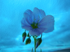 Blue Hour Moments .... (Mr. Happy Face - Peace :)) Tags: art2017 albertabound canada150 floral wildflowers blue bluehour canada landscapes canadaparks hmm wild yyc longview cowboytrail macro hss tectures bluehue feelingblue tones wtbw hues shades art 7dwf