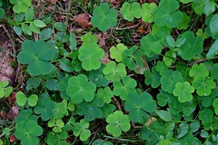 BUNTENBOCK - GOOD LUCK (Punxsutawneyphil) Tags: deutschland germany natur nature plant klee clover glück luck glücksbringer green grün wald forest woods pflanze bodendecker niedersachsen lowersaxony harz buntenbock trefoil shamrock kleeblätter waldboden europe europa