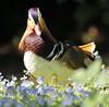 mandarijneend Krefeld JN6A0745 (joankok) Tags: duck mandarijneend eend mandarinduck krefeld vogel bird