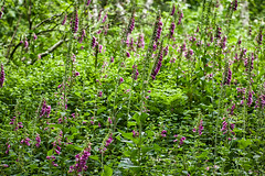 Natures Border (jayneboo) Tags: 365 nature natural foxgloves ferns borders corbett woods grinshil shropshire