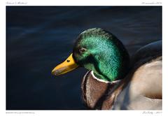 Au lac d'Aydat [Puy de Dôme] (BerColly) Tags: france auvergne puydedome aydat portrait oiseau bird canard mallard lac lake bercolly google flickr