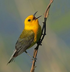 Prothonotary Warbler (frank1556) Tags: prothonotary warbler