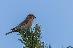 GAD_0268_10-06-17-1.jpg (jlgad05) Tags: beccroisédessapins oiseau fringillidés loxiacurvirostra passériformes redcrossbill bird