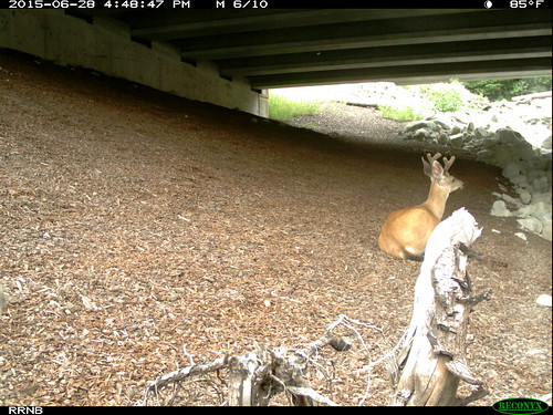 "Deer sitting in Rocky Run underpass • <a style=""font-size:0.8em;"" href=""http://www.flickr.com/photos/44104179@N02/35183450210/"" target=""_blank"">View on Flickr</a>"