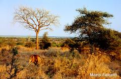 South Africa: Kruger Park: lion (mariofalcetti) Tags: africa southafrica kruger krugerpark landscape paesaggio alberi tree lion leone
