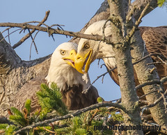 Bald Eagle pair sharing food (Mike Black photography) Tags: bald eagle eaglet bird nature birding big year nj new jersey shore photo canon 5ds r 800mm lens body is usm l tree raptor nest sky mike black june summer 2017 watching hawk