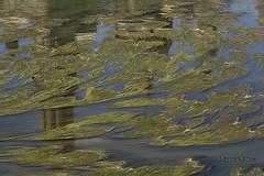 Quién dijo algas? (Otra@Mirada) Tags: rio ebro rioebro agua algas contaminación tapiz verde reflejo hierba
