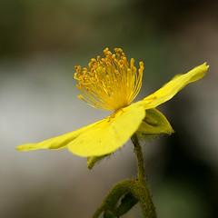 Hélianthème commun (JMVerco) Tags: macro square fleur flower fiore flickrchallengegroup flickrchallengewinner coth coth5