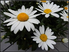 Daisies - Photo Taken by STEVEN CHATEAUNEUF On June 29, 2017 (snc145) Tags: flowers daisies nature outdoor photo june292017 summer seasons stevenchateauneuf autofocus vividstriking flickrunitedaward