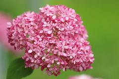 ajisai (* Yumi *) Tags: ajisai hydrangea flower 紫陽花 アジサイ アナベル ピンク 高幡不動
