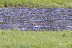 Bison calf struggles to swim across the river