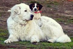 dogs bulldogs chepstow bulwark severnbridge nikon wales... (Photo: Mark Hobbs@Chepstow on Flickr)