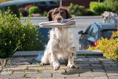 24/52 ZigZag 2017 (Flemming Andersen) Tags: 52weeksfordogs animal cocker zigzag hund newspaper pet
