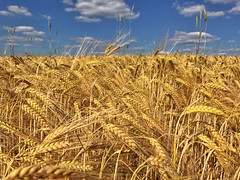 Summer Harvest (Geolilli) Tags: iphone iphonography iphone7plus iphone7 blue harvest apple farm wheat food germany bavaria comparison