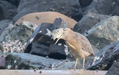 striated heron (Butorides striata)-2973 (rawshorty) Tags: rawshorty birds australia nsw portmacquarie