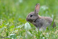 Rabbit (parry101) Tags: south wales southwales nature geraint parry geraintparry wildlife cardiff forestfarm forest farm sigma sigma150600 150600 150600mm nikon d500 nikond500 animal animals grey rabbit rabbits bunny bunnies mammal mammals