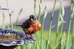 Wet robin (Daniel Hemingsen) Tags: bird robin birdfeeder wet