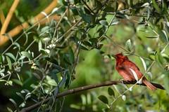 Little Darling #4 (brev99) Tags: d610 tamron28300xrdiif bird red tulsazoo nikoutputsharpener photos dxoopticspro foliage greenbackground bokeh highqualityanimals