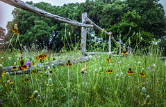 Happy Fence Friday! (Jims_photos) Tags: wimberleytexas texas trees unitedstates outdoor outside oldfence adobelightroom adobephotoshop shadows sunnyday daytime fencefriday flowers happyfencefriday jimallen jimsphotos jimsphotoswimberleytexas lightroom landscape nopeople nikond750